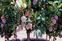オーストラリアマンゴー(ケンジントン・プライド種)の産地